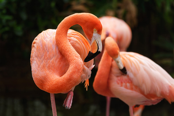 Can Flamingos Fly? (Cools Facts On Flamingos)