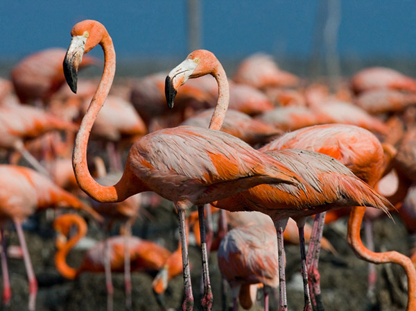Can Flamingos Be Blue Or Black? (Do They Exist?)