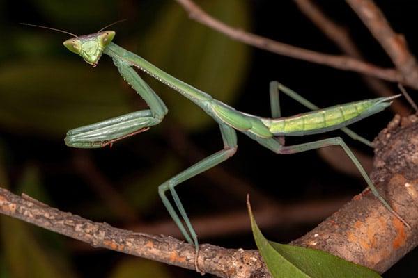 Can A Praying Mantis Hurt You?