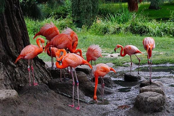 Is Flamingo Poop Pink?