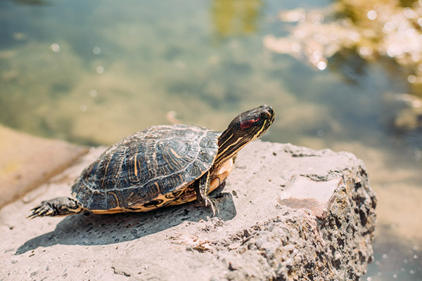 Do Turtles Breathe Out Their Butts?