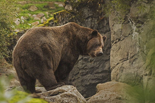What States Have Grizzly Bears?